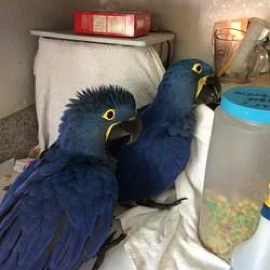 Beautiful Baby Hyacinth Macaw offer Macaws