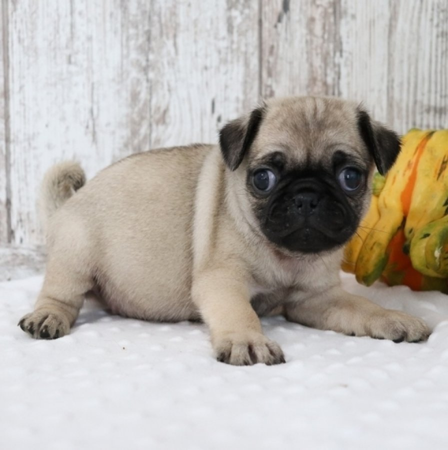 Cute Pug Puppies for adoption offer Dogs & Puppies