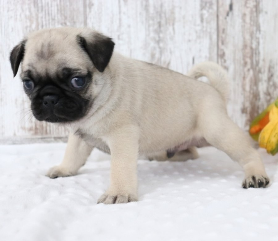 Male Pug puppy for adoption offer Pug