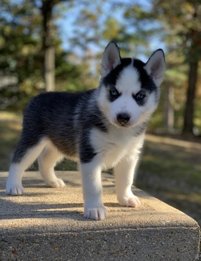 We are giving our Siberian Husky Pupies for Adoption> offer Dogs & Puppies
