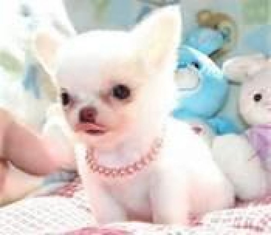 Adorable Chihuahua Puppies for sale offer Chihuahua