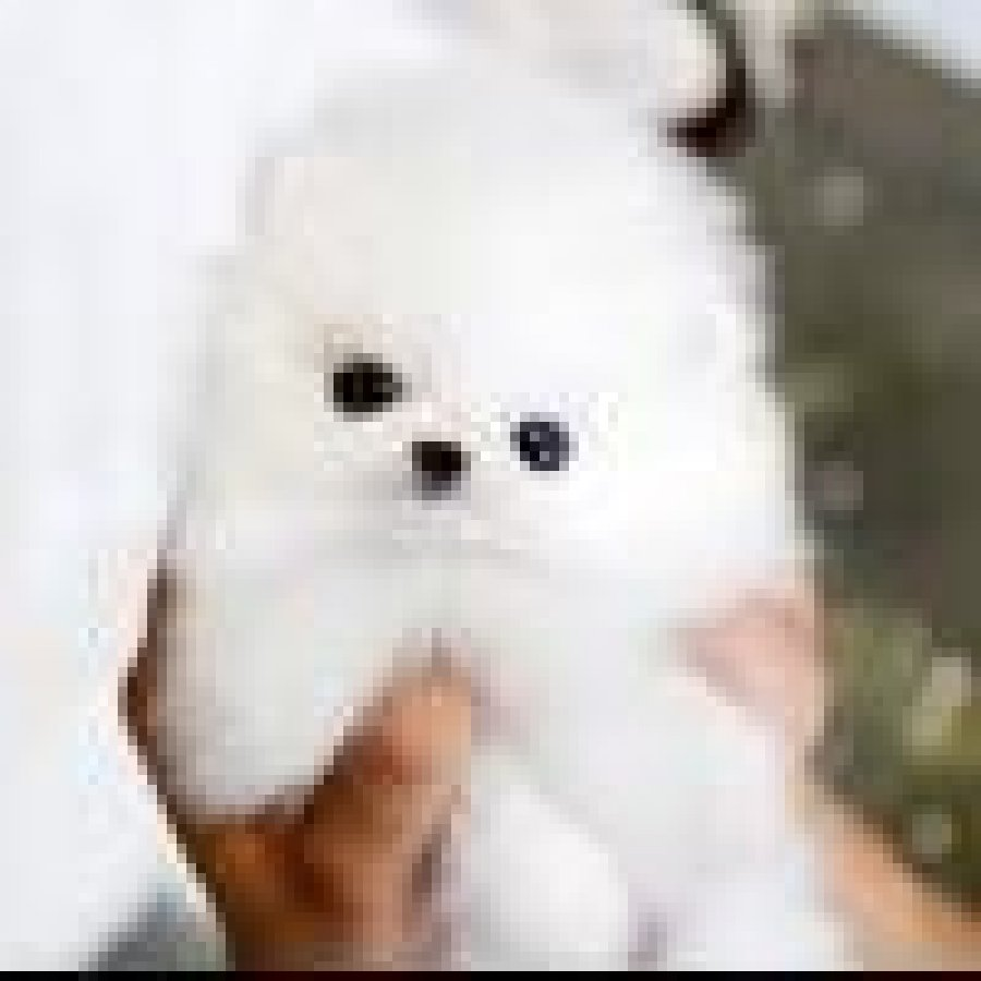 Super Cute Teacup Pomeranian puppies for sale offer Pomeranian