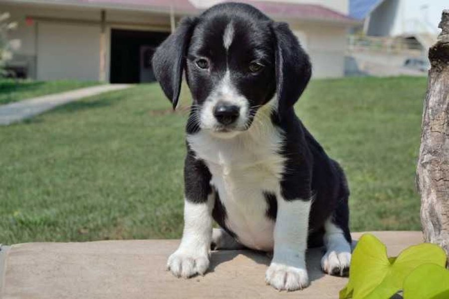Cute Healthy BEAGLE puppies for sale  offer Dogs & Puppies
