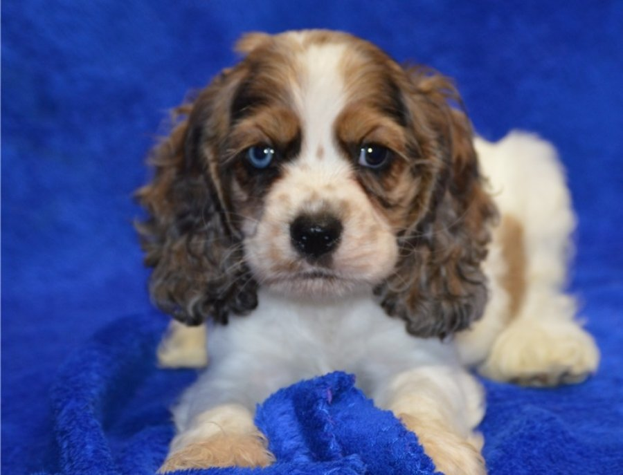 Beautiful pair of Cocker Spaniel puppies for sale  offer Dogs & Puppies