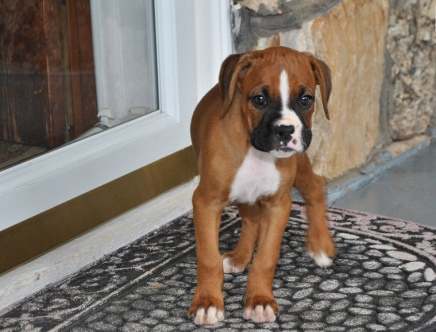 We have three   Boxer  puppies for sale  offer Dogs & Puppies