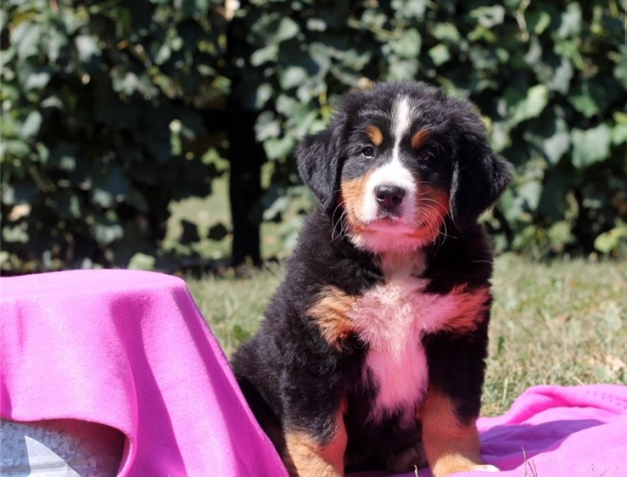 beautiful Bernese Mountain puppies are looking for new lovely home. offer Dogs & Puppies