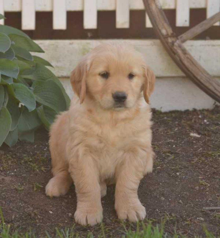 Best Golden Retriever  male and Female Puppies. offer Dogs & Puppies