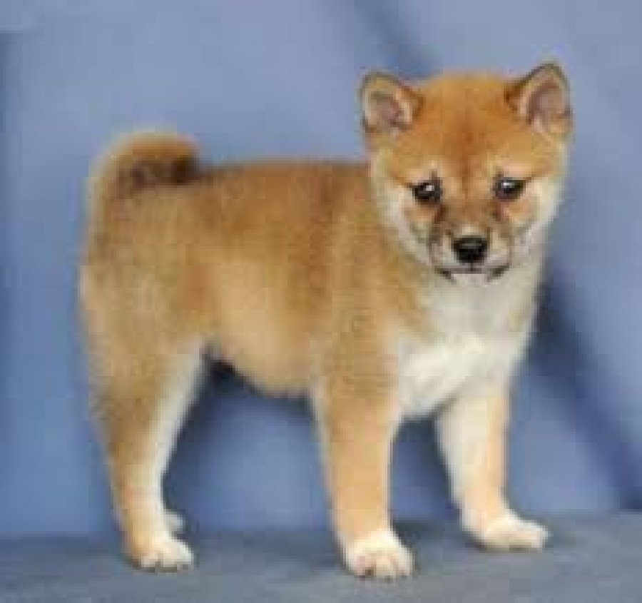 Shiba inu Puppies Available for sale offer Dogs & Puppies