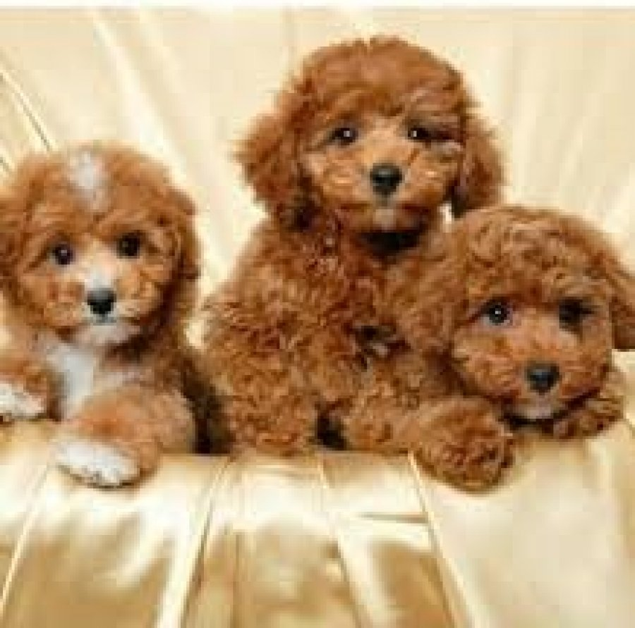 Cute Poodle Puppies Available for sale offer Poodle