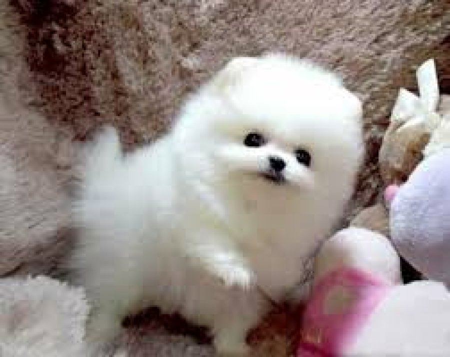 Gorgeous white Teacup Pomeranian Puppies for sale offer Pomeranian