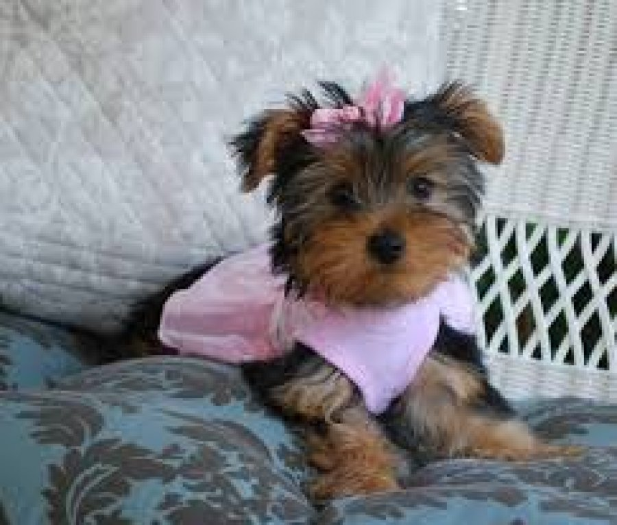 Cute Male and Female Teacup Yorkie Puppies for sale offer Yorkshire Terrier