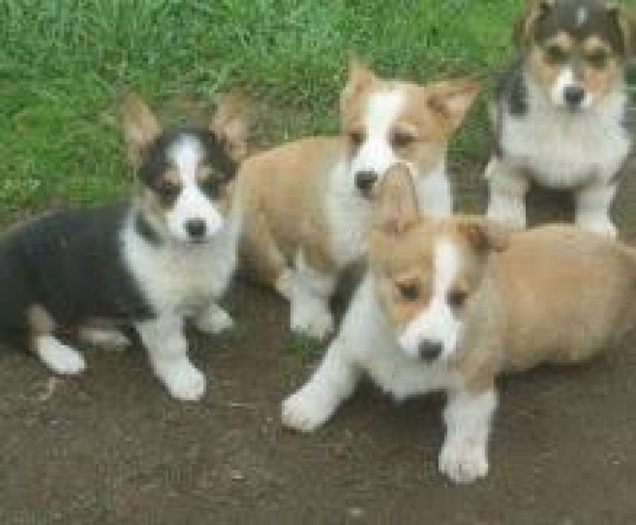 Awesome Pembroke Welsh Corgi Puppies Available for sale. offer Dogs & Puppies