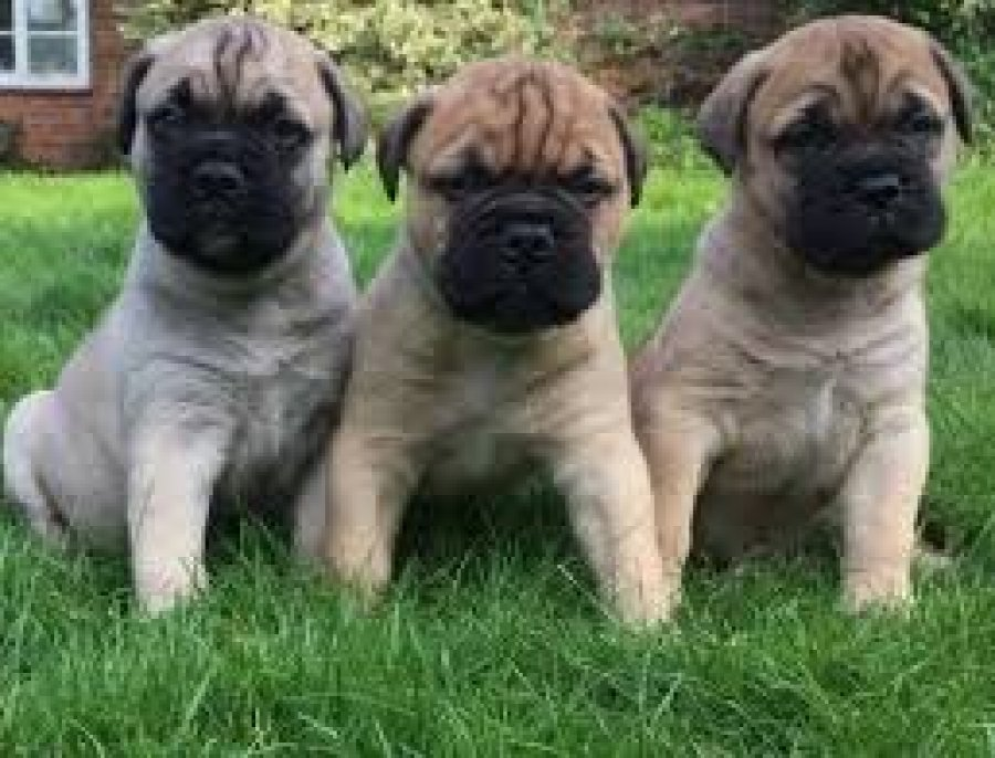 Mastiff Puppies Available for sale offer Dogs & Puppies