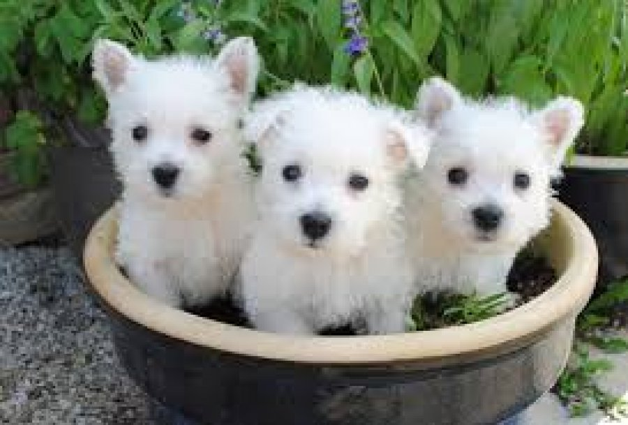 Lovely West Highland White Terrier Puppies Available for sale offer West Highland Terrier