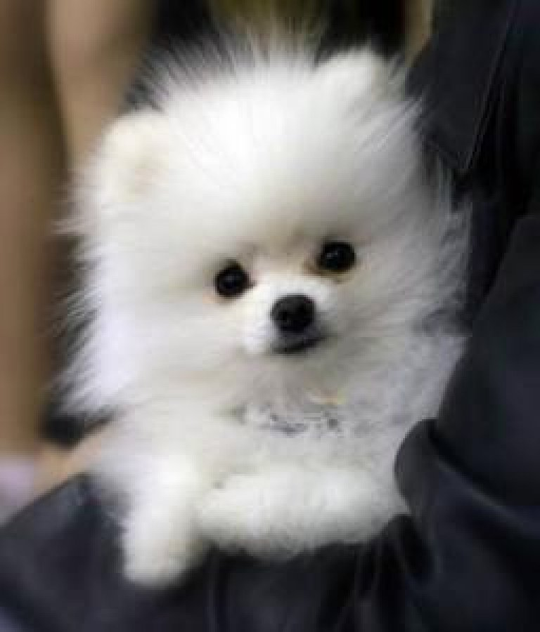 Cute male and female Teacup Pomeranian Puppies for Sale offer Pomeranian