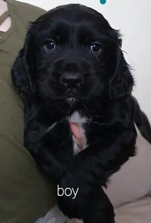 Sprocker Puppies offer Dogs & Puppies