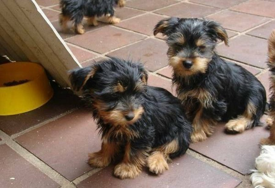 TeaCup Yorkshire Terrier Puppies offer Yorkshire Terrier