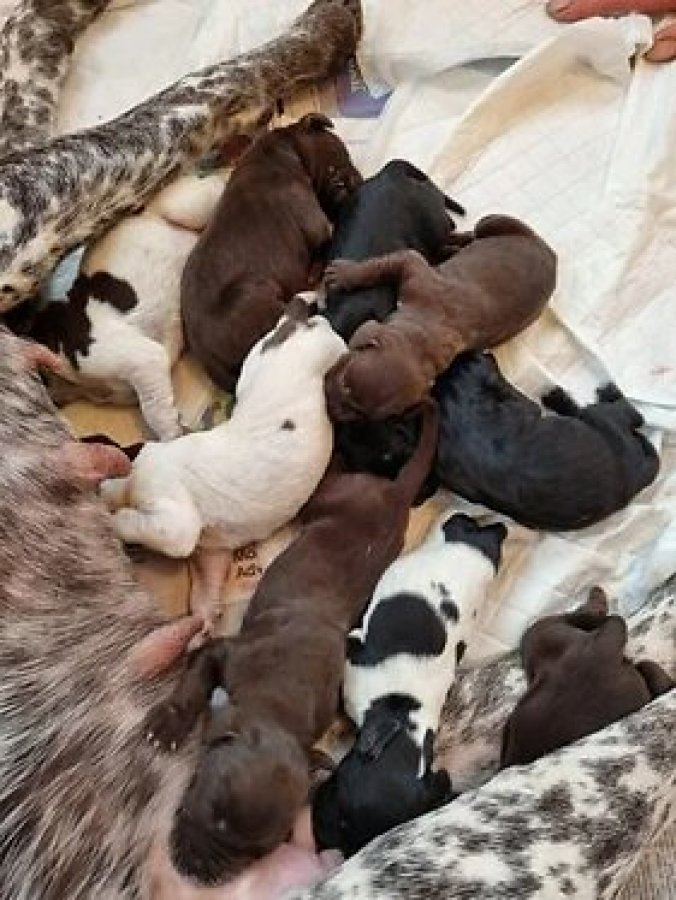 German Short Haired Pointer Full Pedigree Pups offer Dogs & Puppies