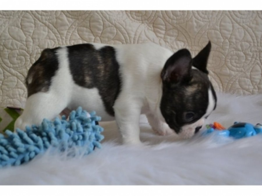 Well Trained French Bulldog Puppies offer Bulldog