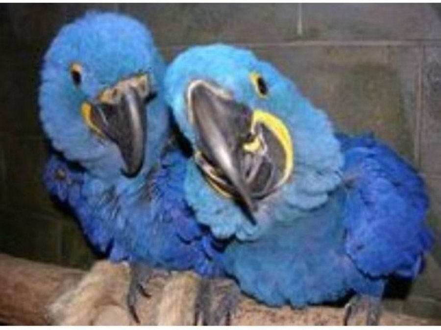 We have a Male and Female Hyacinth Macaw parrot for adoption offer Macaws