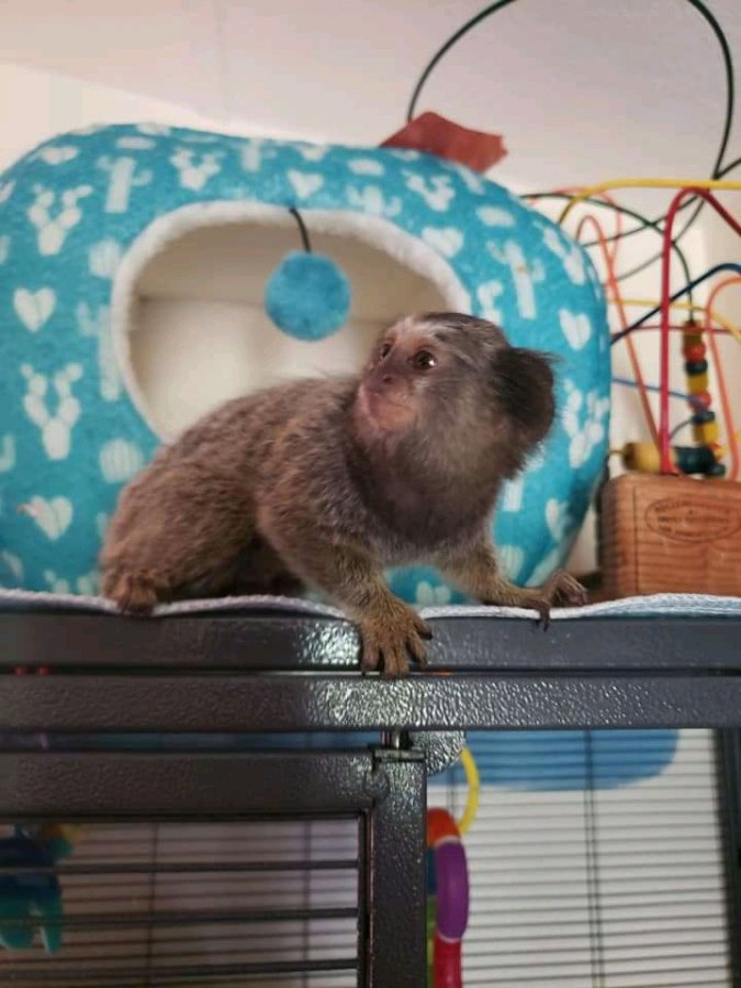 Diapers trained Marmoset Monkeys for lovely families offer Exotic pets