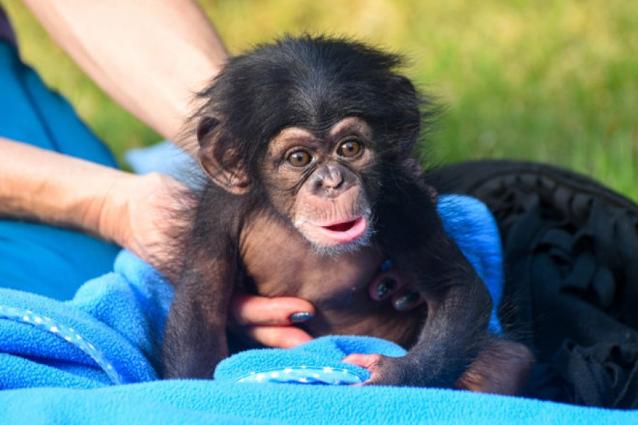 Chimpanzee for pet lovers. offer Exotic pets