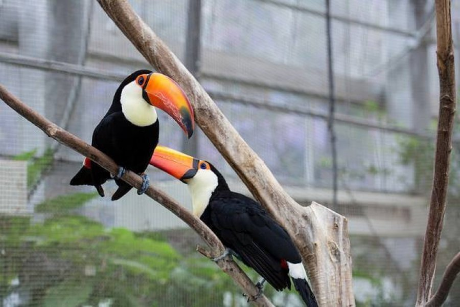 We have hand fed male and female Toco Toucan birds available offer Birds