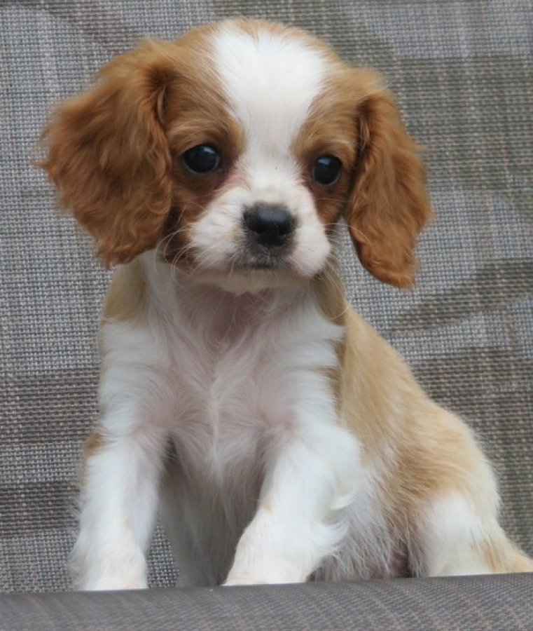 Reg'd Cavalier King Charles Spaniel Puppies offer Dogs & Puppies