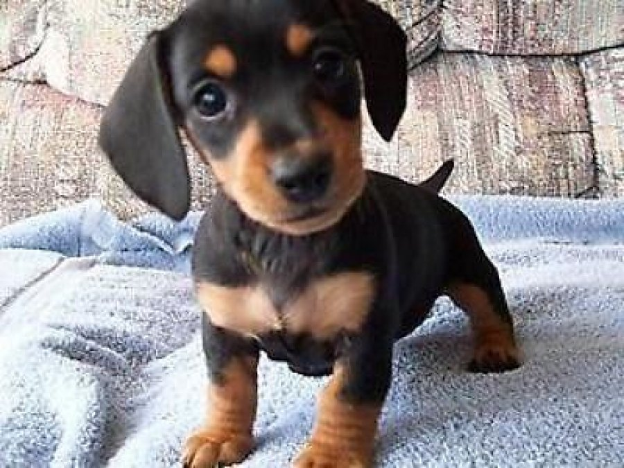 Dachshund pups for rehoming offer Dogs & Puppies