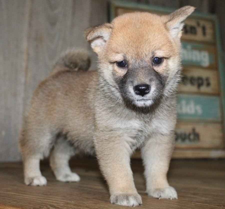 kc Shiba Inu Puppies Available offer Dogs & Puppies