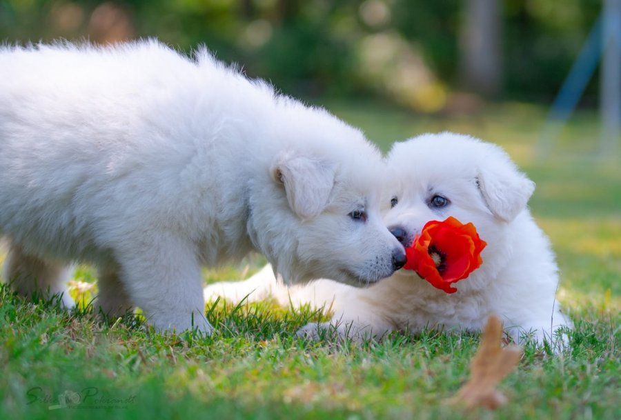 kc Samoyed Puppies Ready offer Dogs & Puppies
