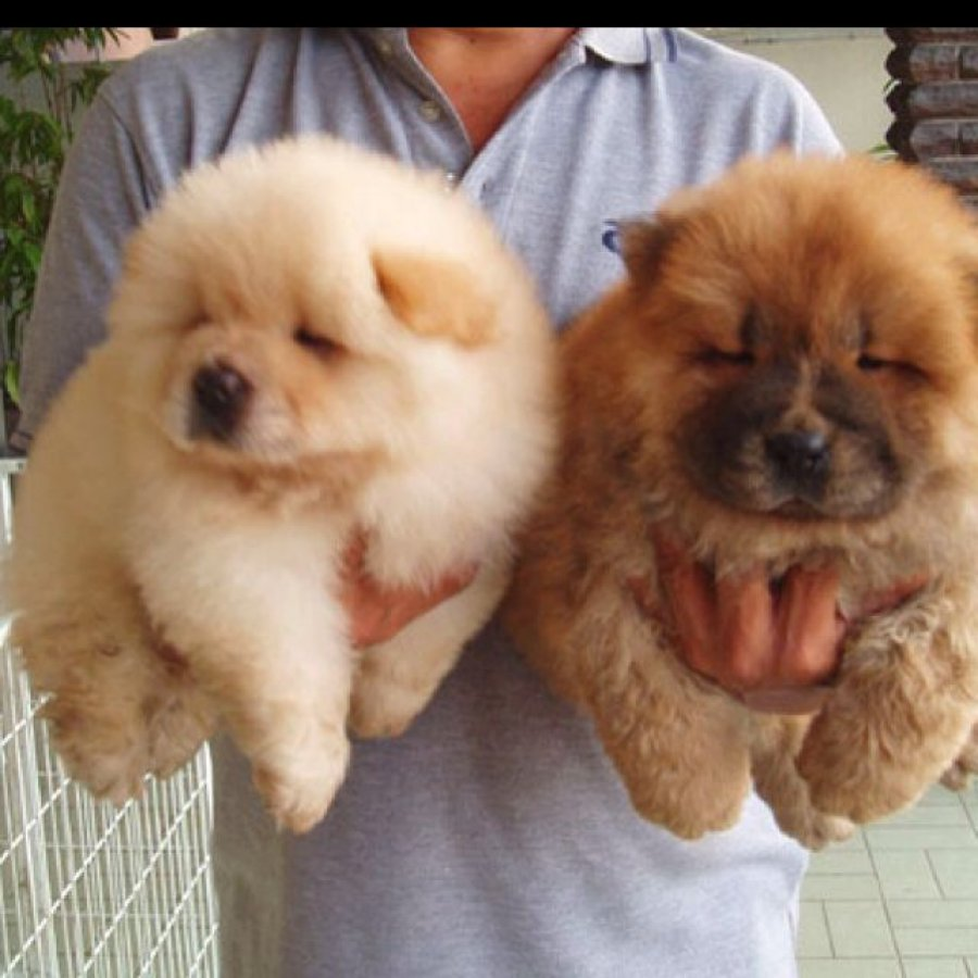 stunning chow chow puppies ready offer Dogs & Puppies