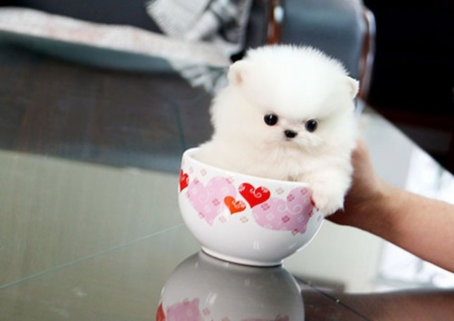 Two Beautiful Pomeranian Puppies offer Dogs & Puppies
