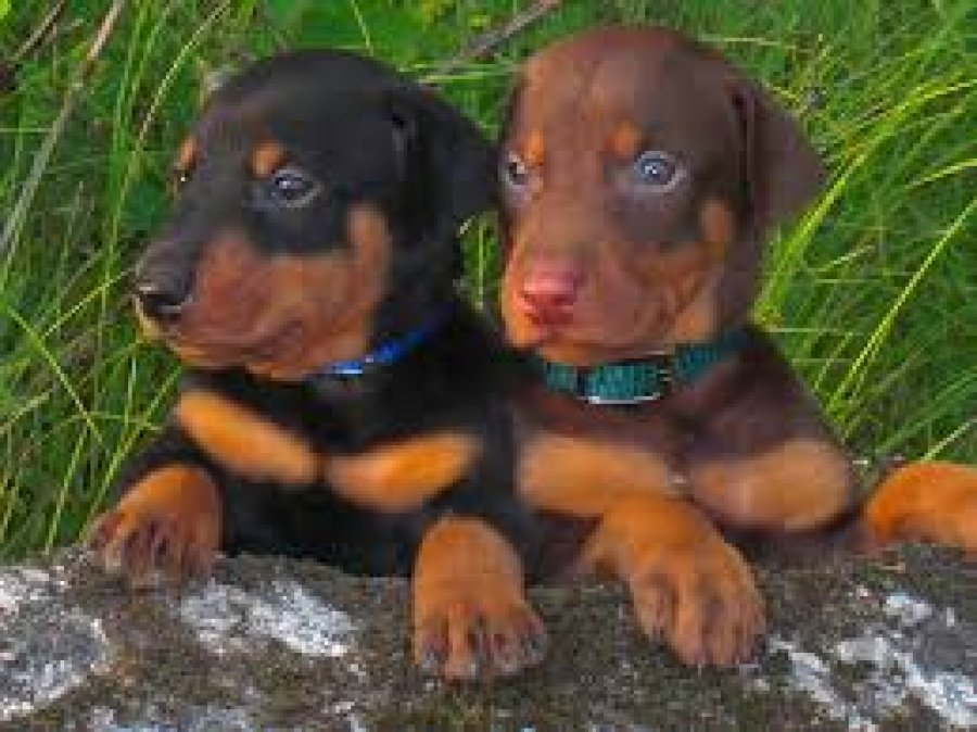 Good Looking Doberman Puppies offer Dogs & Puppies